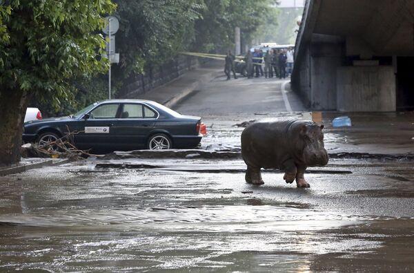 Бегемот гуляе па затопленых вуліцах Тбілісі - Sputnik Беларусь