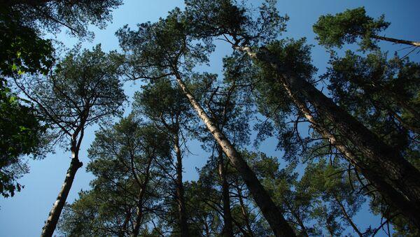 Беларускі лес - Sputnik Беларусь