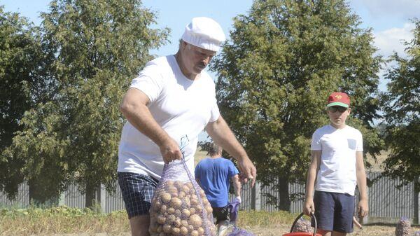 Аляксандр Лукашэнка і яго сын Мікалай збіраюць бульбу ў рэзідэнцыі ў Драздах - Sputnik Беларусь