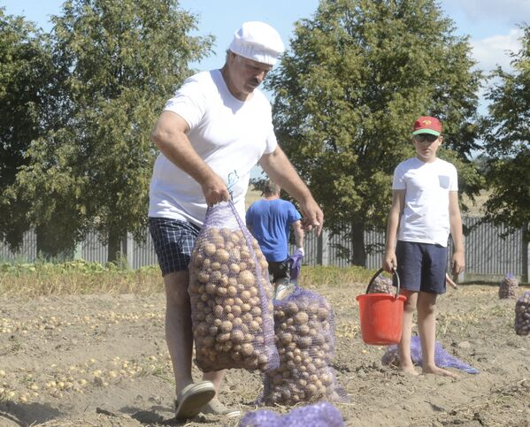 Александр Лукашенко и его сын Николай убирают картофель в резиденции в Дроздах в августе 2015-го.  - Sputnik Беларусь