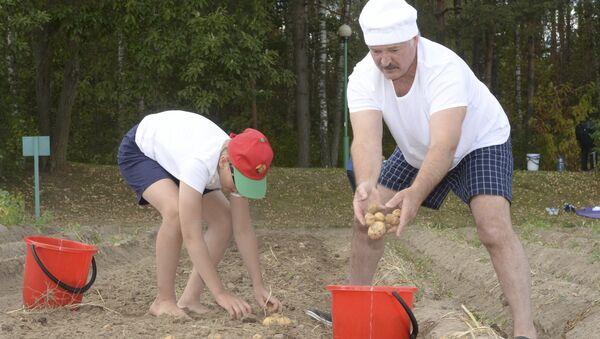 Аляксандр Лукашэнка і ягоны сын Мікалай ўбіраюць бульбу ў рэзідэнцыі ў Драздах - Sputnik Беларусь