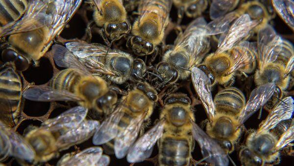 Пчелы на пасеке - Sputnik Беларусь