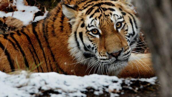 Амурские тигры в Приморском сафари-парке - Sputnik Беларусь