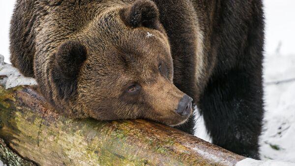 Бурый медведь - Sputnik Беларусь