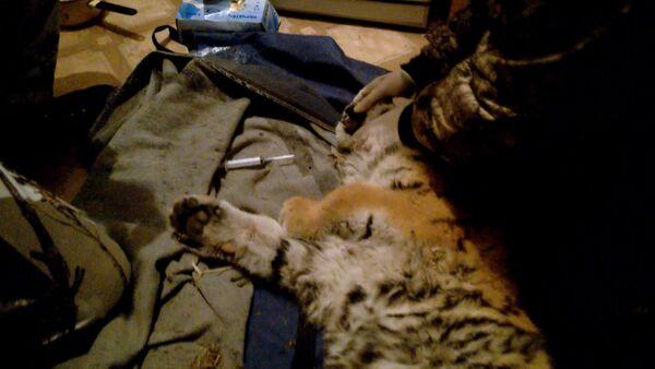 СПУТНИК_Ветеринары оказали первую помощь вышедшему к людям тигренку в Приморье - Sputnik Беларусь