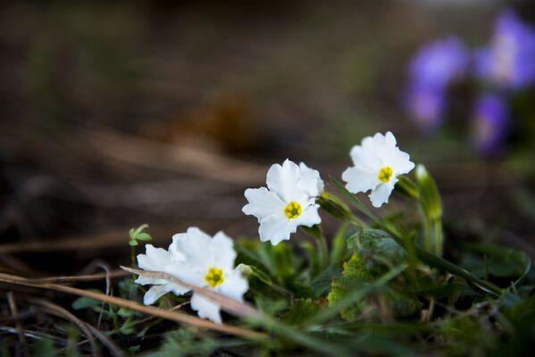 У садах і парках Паўднёвай Асеціі расцвілі прымулы – белыя і фіялетавыя. - Sputnik Беларусь