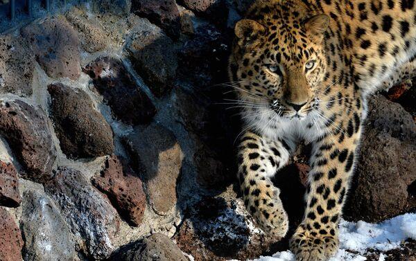 Дальневосточный леопард - Sputnik Беларусь