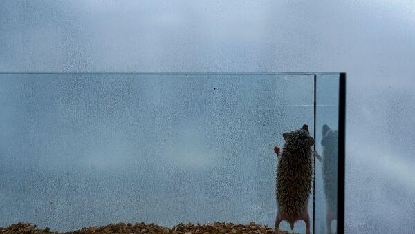 Ежик в аквариуме в токийском кафе - Sputnik Беларусь