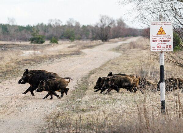 Дикие кабаны в зоне отчуждения ЧАЭС, 2006 год. Во многом загрязненная территория в те годы напоминала заповедник. - Sputnik Беларусь
