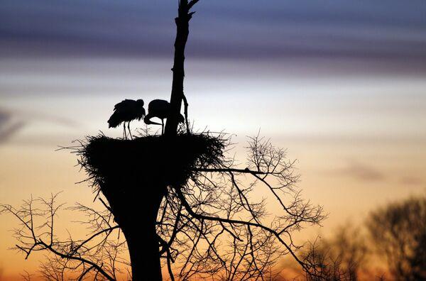 Буслы сядзяць у гняздзе на ўсходзе сонца каля Вераскава пад Наваградкам. Бусел – адна з самых любімых птушак у Беларусі, і людзі вельмі радуюцца, калі яны селяцца паблізу дамоў. - Sputnik Беларусь
