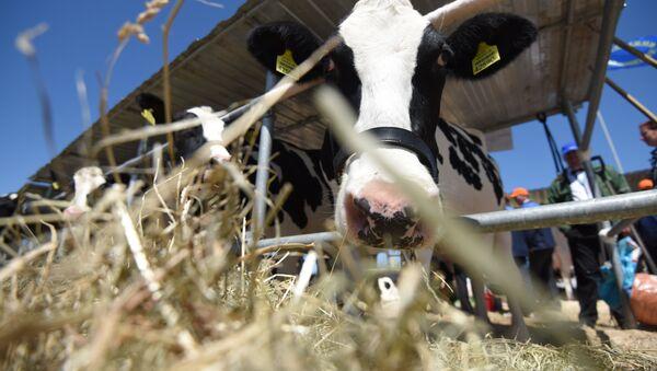 Коровы, архивное фото - Sputnik Беларусь