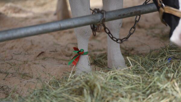 Конкурс на лучшую корову на выставке Белагро - Sputnik Беларусь
