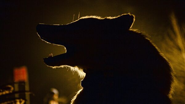 Волк - Sputnik Беларусь