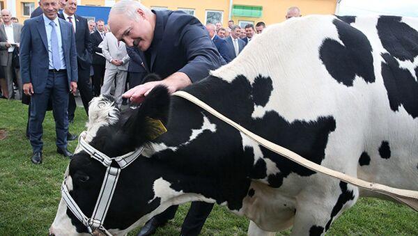 Во время посещения одной из ферм сельхозпредприятия Савушкино Александру Лукашенко подарили корову для личного подсобного хозяйства, 15 августа 2016 года - Sputnik Беларусь