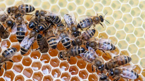 Пчёлы на сотах - Sputnik Беларусь