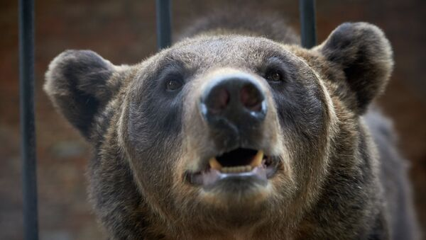 Медведица, архивное фото - Sputnik Беларусь