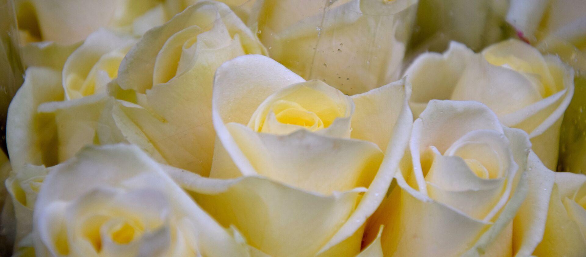 Белые розы, архивное фото - Sputnik Беларусь, 1920, 05.02.2021