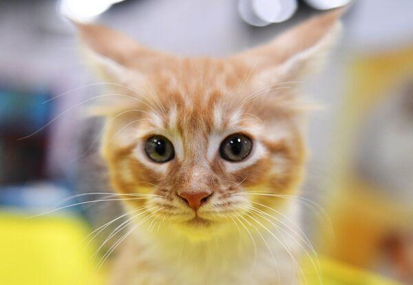 Выставка котят КоШарики Шоу в Москве - Sputnik Беларусь