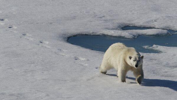 Белый медведь - Sputnik Беларусь