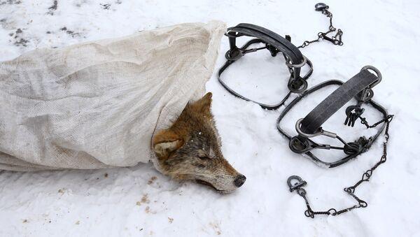 Капкан і мёртвы воўк - Sputnik Беларусь