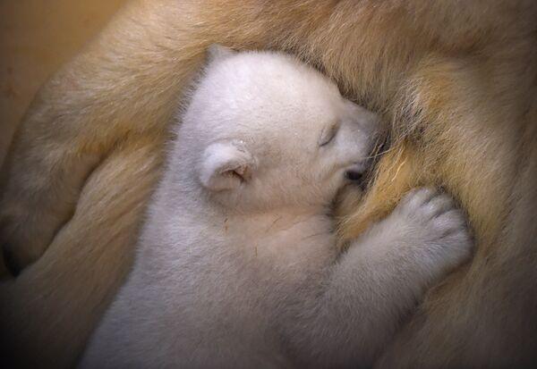 Медвежата питаются молоком матери до трех-четырех месяцев и больше. - Sputnik Беларусь