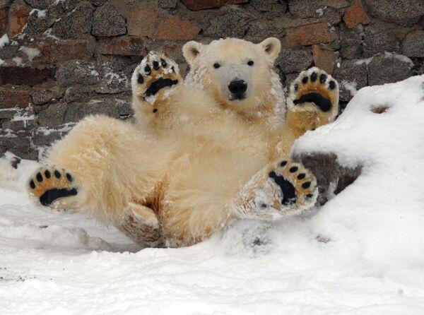 Подошвы лап белых медведей покрыты длинной шерстью, это позволяет им не скользить на льду и не мерзнуть. - Sputnik Беларусь