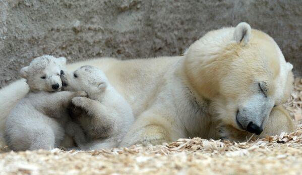 Обычно у белой медведицы рождаются два медвежонка. - Sputnik Беларусь