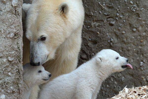 Белого медведя от других медведей отличают длинная шея и плоская голова. - Sputnik Беларусь
