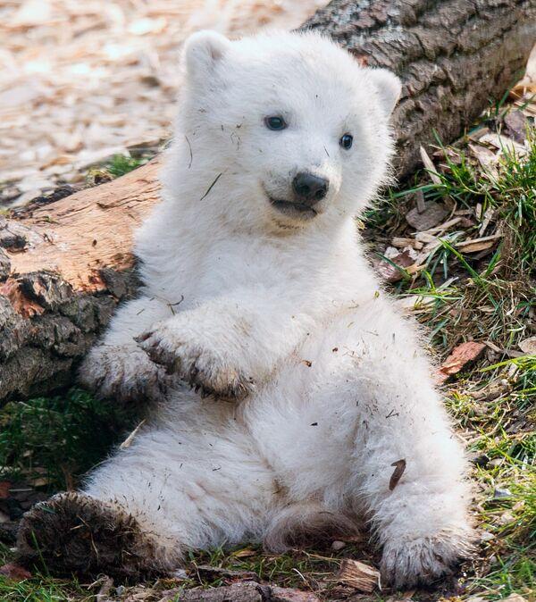Медвежата появляются на свет в середине зимы. - Sputnik Беларусь