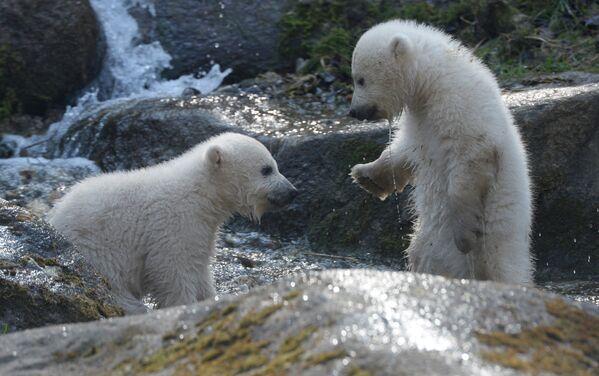 Волоски шерсти белых медведей — полые и лишены пигмента, это позволяет им пропускать только ультрафиолетовые лучи, что придает шерсти теплоизоляционные свойства. - Sputnik Беларусь