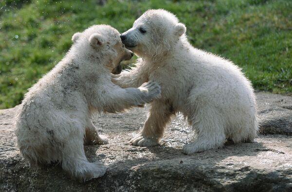 Летом под воздействием лучей солнечного света мех полярного медведя может желтеть. - Sputnik Беларусь