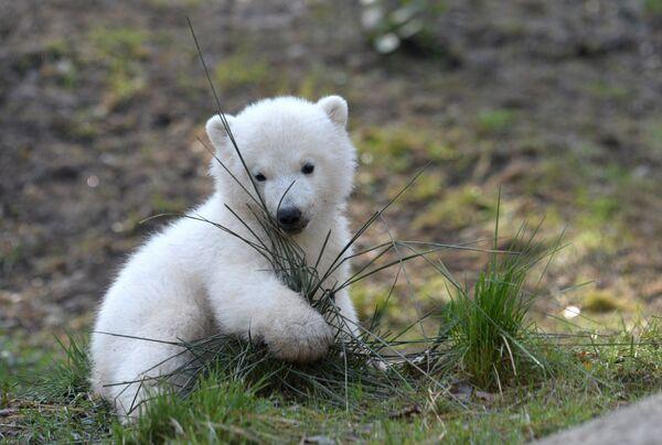 Весной мать впервые выводит своих малышей из берлоги. - Sputnik Беларусь