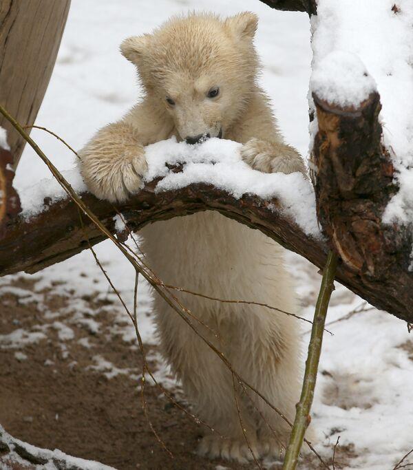 С трех-четырех месяцев медвежата начинают учиться добывать для себя пищу самостоятельно. - Sputnik Беларусь