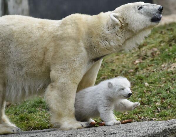 Слух у медведя считается плохим, однако он слышит скрип шагов человека, идущего по снегу, примерно за 200 метров. - Sputnik Беларусь