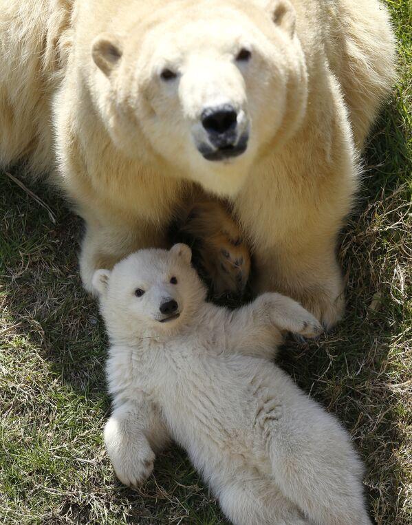 Белые медведицы способны начать приносить потомство в возрасте около четырех-пяти лет и остаются детородными порой до 20 лет и более. - Sputnik Беларусь