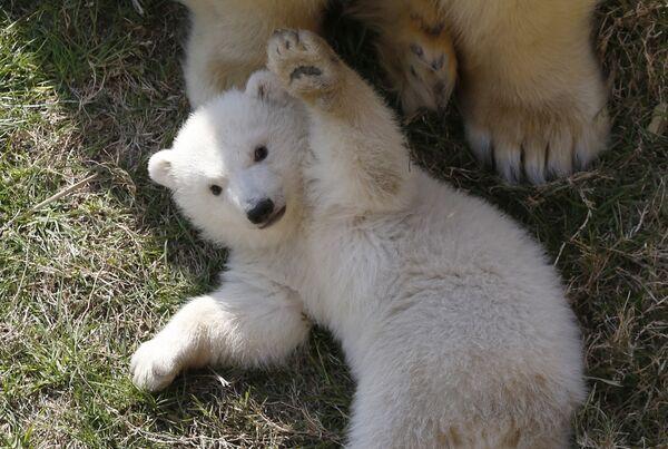 День рождения белого медведя отмечается в мире 29 декабря, Международный день белого медведя— 27 февраля. У этих праздников одна цель— привлечь внимание к охране редкого вида. - Sputnik Беларусь
