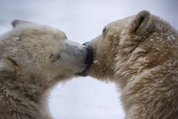 Годовалые белые медвежата уже практически взрослые. - Sputnik Беларусь