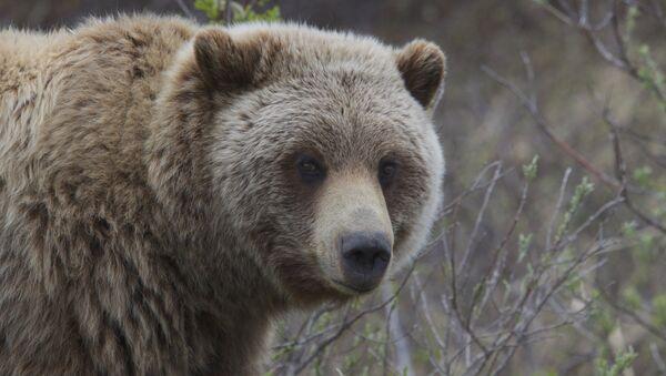 Бурый медведь, архивное фото - Sputnik Беларусь