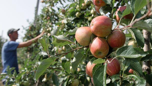 Яблоки в яблоневом саду - Sputnik Беларусь