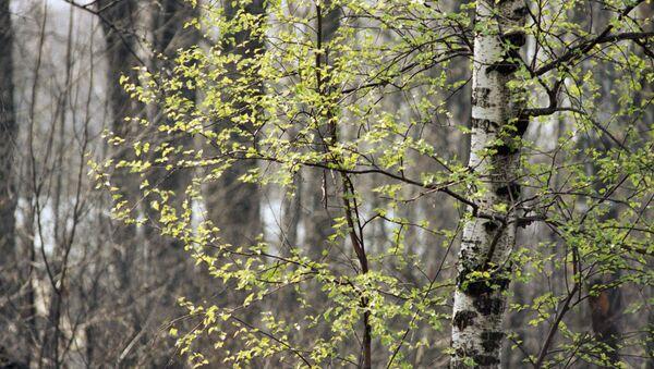 Береза распускается в весеннем лесу, архивное фото - Sputnik Беларусь