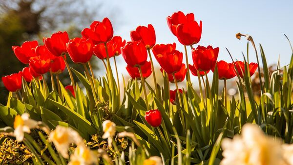 Цюльпаны вясной, архіўнае фота - Sputnik Беларусь