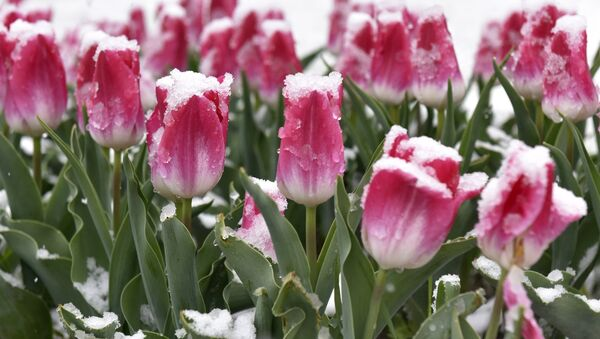 Тюльпаны в снегу, архивное фото - Sputnik Беларусь