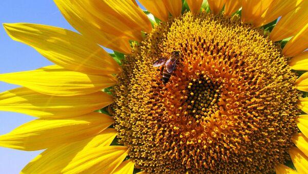 Пчела на цветке - Sputnik Беларусь