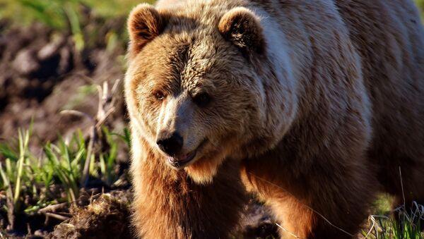 Медведь, архивное фото - Sputnik Беларусь