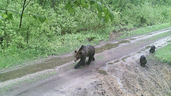 Медведи в Суражском лесхозе - Sputnik Беларусь