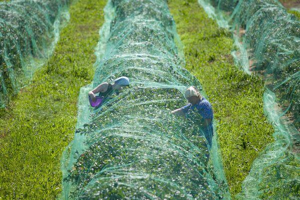 Ягода любит влажную и кислую почву, поэтому местные фермеры придумали целую систему орошения. - Sputnik Беларусь