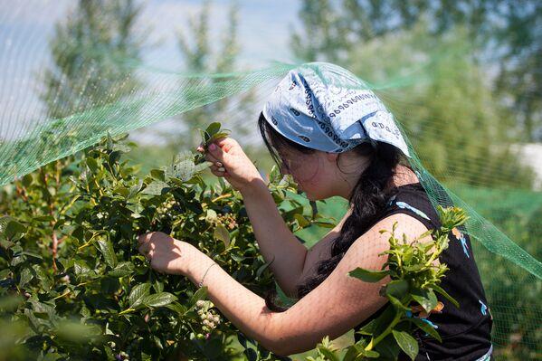 Плантация находится в деревне Высокое Столинского района (3-4 км от Ольшан). - Sputnik Беларусь