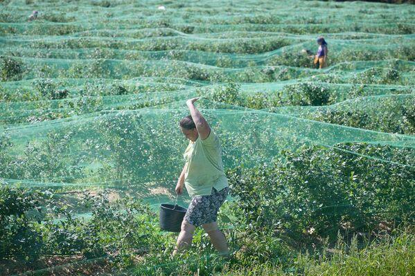 Трудится больше приезжих – у местных ольшанцев хватает своих хлопот на огородах и теплицах. - Sputnik Беларусь