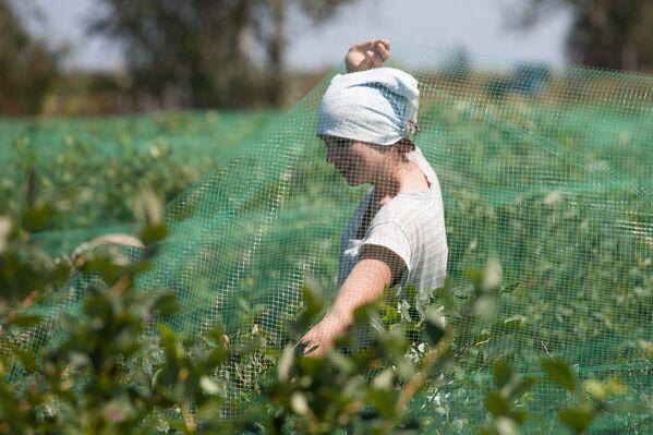 Чтобы они не вредили – не клевали и не портили ягоды - кустики закрывают сеткой. - Sputnik Беларусь