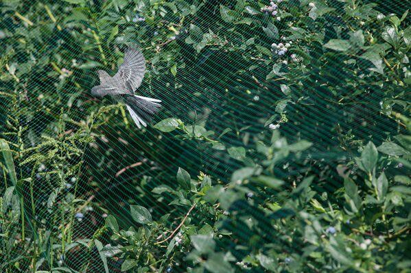 Голубикой не прочь полакомиться птицы. - Sputnik Беларусь